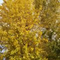 子安公園のイチョウが黄金色に色づいてます