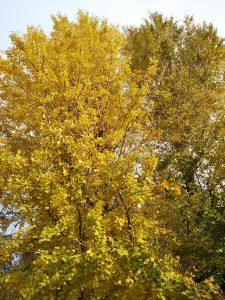 イチョウが綺麗に黄金色