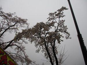 富士森公園の桜の枝ぶり