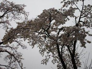 満開?の桜の枝ぶり