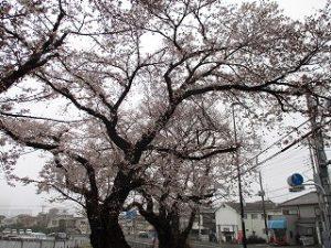 富士森公園バス停付近の桜