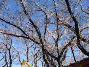 今朝の富士森公園の桜