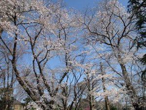 桜が咲いてますね