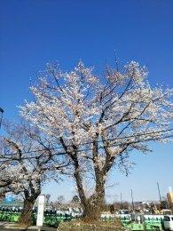 青空と桜が映えますね~