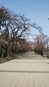2020年3月22日 朝の富士森公園の桜です