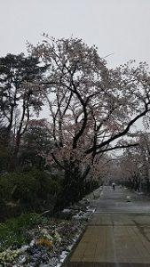 2020年3月29日 朝の富士森公園の桜です