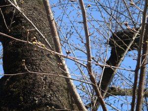 2020年3月16日 朝の富士森公園の桜