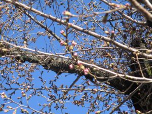 2020年3月20日 朝の富士森公園の桜です