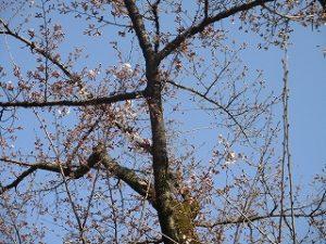 2020年3月21日 朝の富士森公園の桜です