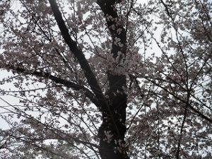 2020年3月23日 朝の富士森公園の桜です
