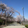 2020年3月24日 朝の富士森公園の桜です