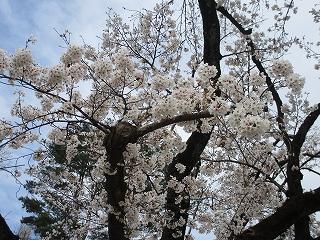 2020年3月27日 朝の富士森公園の桜です