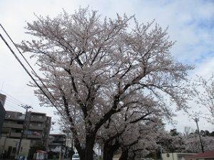 2020年3月28日 朝の富士森公園の桜です