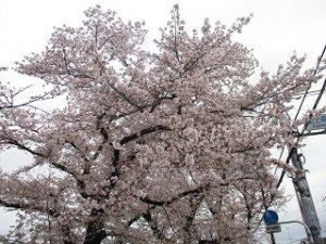 2020年3月30日 朝の富士森公園の桜開花状況です