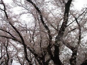2020年3月31日 朝の富士森公園の桜です