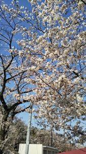 2020年4月3日 朝の富士森公園の桜です