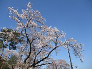 2020年4月4日 朝の富士森公園の桜です