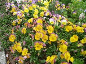 2020年4月17日 朝の富士森公園の花壇です