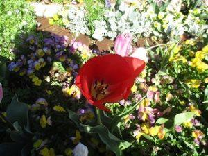 2020年4月19日 朝の富士森公園の花壇です