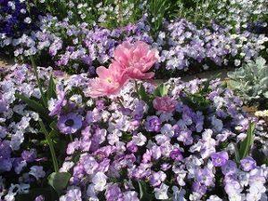 2020年4月30日 朝の富士森公園の花壇です