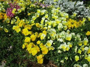 2020年5月17日 朝の富士森公園の花壇です