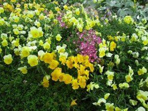 2020年5月19日 富士森公園の花壇です
