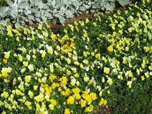 2020年5月24日 富士森公園の花壇です