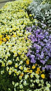 2020年6月1日 富士森公園の花壇です