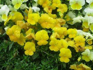 2020年6月2日 富士森公園の花壇です