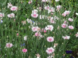 2020年6月8日 富士森公園の花壇です