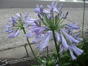 2020年7月1日 朝のRoom's Bar店頭に咲くお花です