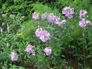 2020年7月23日 朝の富士森公園の花壇です