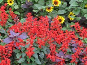 2020年9月29日 朝の富士森公園の花壇です