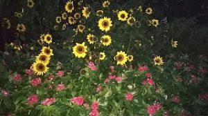 2020年10月17日 朝の富士森公園の花壇です
