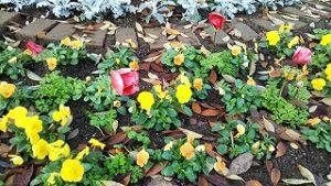 2020年11月17日 朝の富士森公園の花壇です