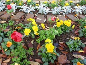 2020年11月15日 朝の富士森公園の花壇です