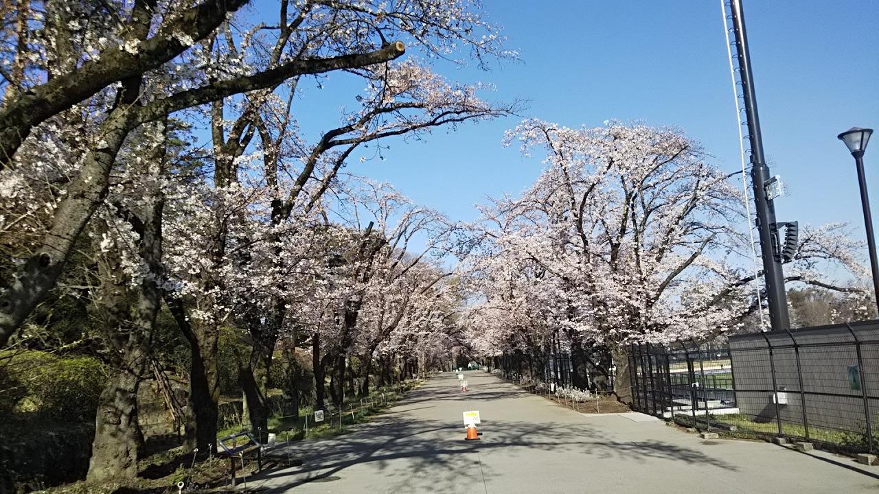 2021年3月26日 富士森公園の桜です