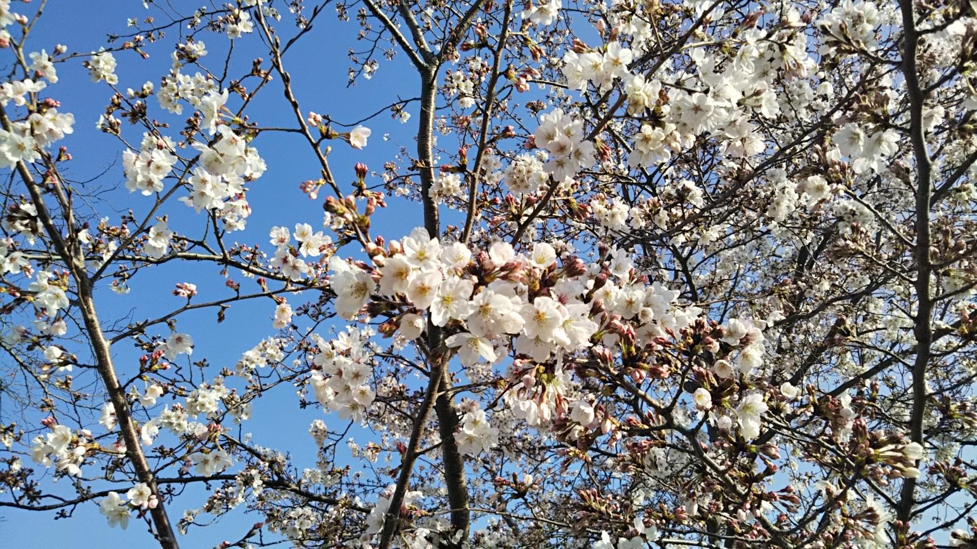 2021年3月27日 富士森公園の桜です