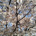 2021年3月29日 富士森公園の桜です