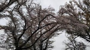 2021年4月2日 富士森公園の桜です