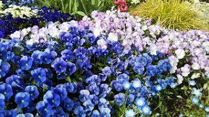 2021年5月9日 朝の富士森公園の花壇です