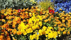 2021年5月6日 朝の富士森公園の花壇です