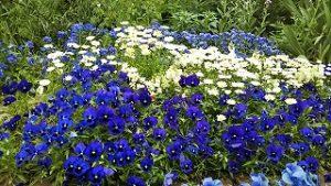 2021年5月16日 朝の富士森公園の花壇です