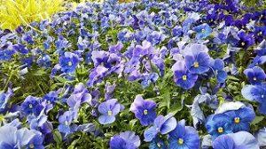 2021年5月18日 朝の富士森公園の花壇です