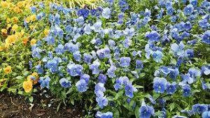 2021年5月21日 朝の富士森公園の花壇です