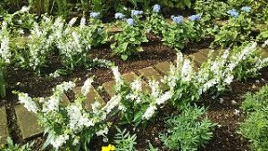 2021年6月20日 朝の富士森公園の花壇です