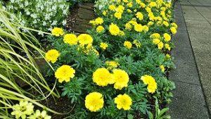 2021年7月9日朝の富士森公園の花壇です