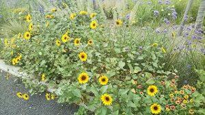 2021年8月29日朝の富士森公園の花壇です