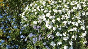 2021年9月24日朝の富士森公園の花壇です