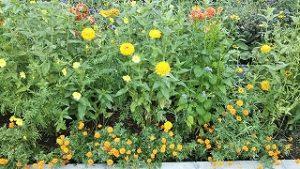 2021年9月6日朝の富士森公園の花壇です